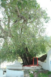 Peepul Tree @ Kakrighat- In Aug-1890, Swamiji realised the Oneness of Microcosm and Macrocosm meditating under this very tree -An Old Photo